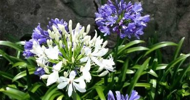Wonderful Agapanthus
